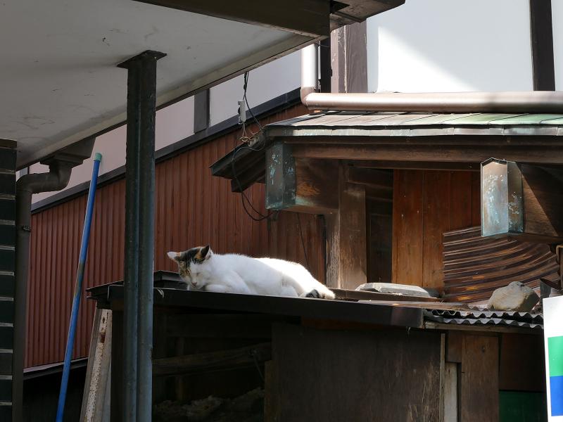 物置小屋の屋根で寝る猫