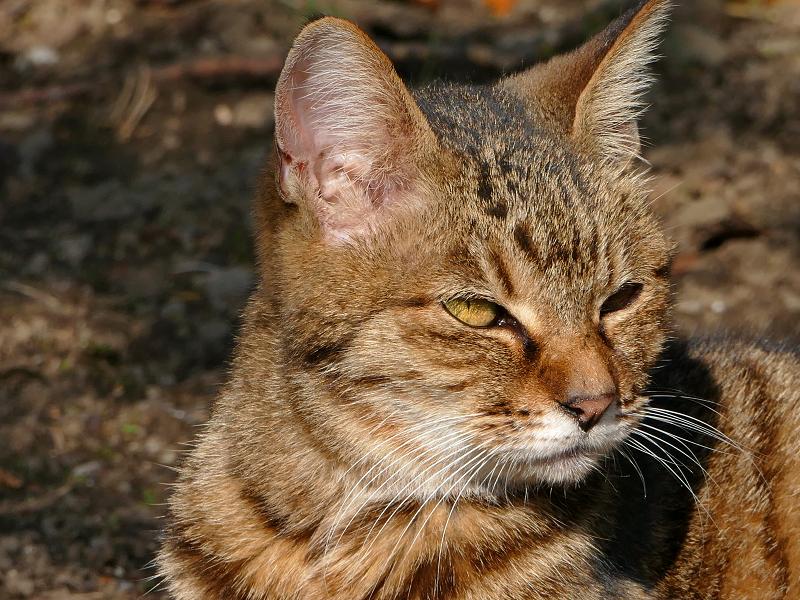 林の手前のキジトラ猫2