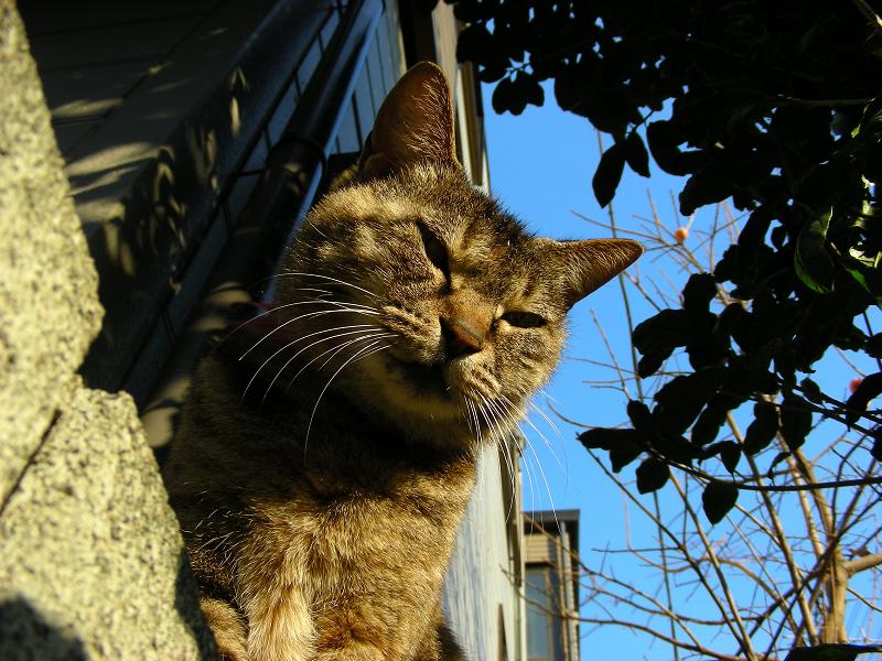 キジトラ猫と青空のローアングル2