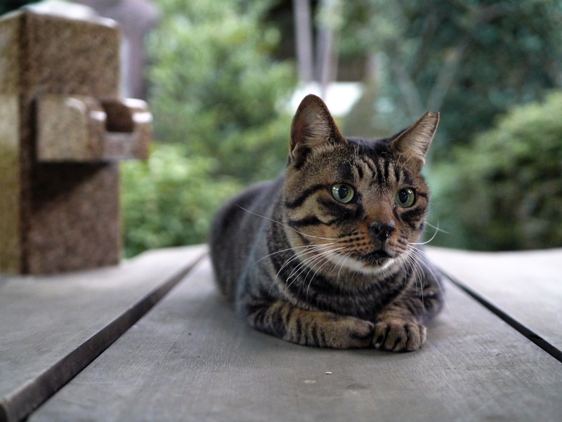 井戸蓋上のキジトラ猫