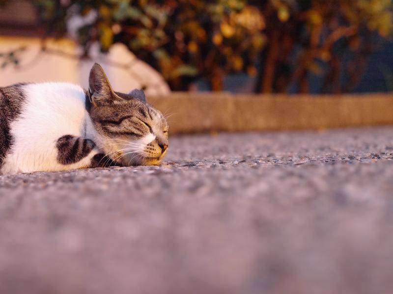 夕日と寝てるキジ白猫1