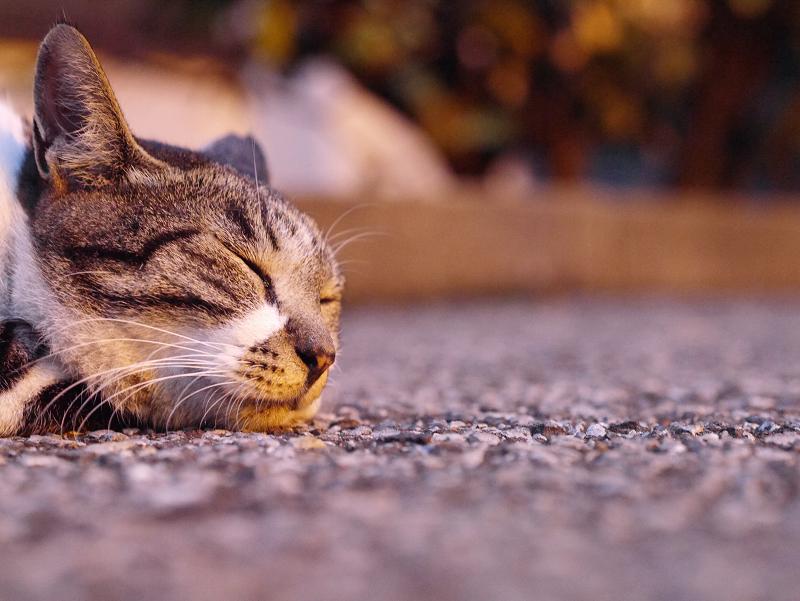 夕日と寝てるキジ白猫2