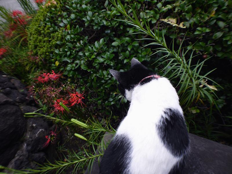 曼珠沙華と白黒猫