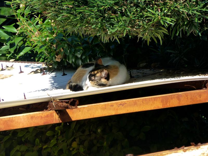 波板屋根で寝ている三毛猫1