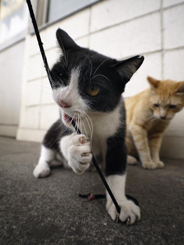 ゴム紐を伸ばす黒白猫2