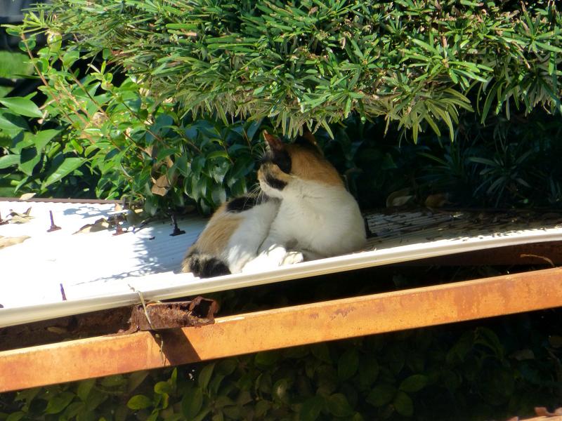 波板屋根で寝ている三毛猫2