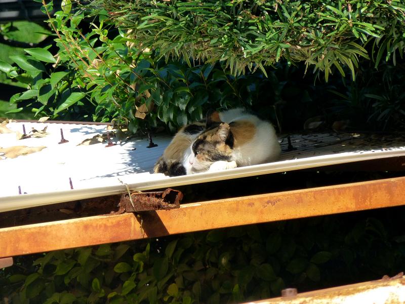 波板屋根で寝ている三毛猫3