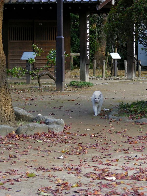 歩きよる白猫と落ち葉