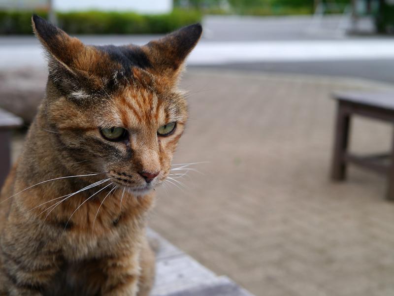 テーブルから見渡すサビ柄猫2