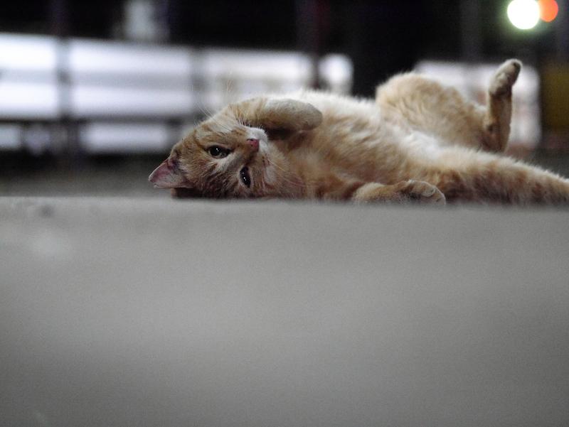 カメラ目線で転がる茶トラ猫2