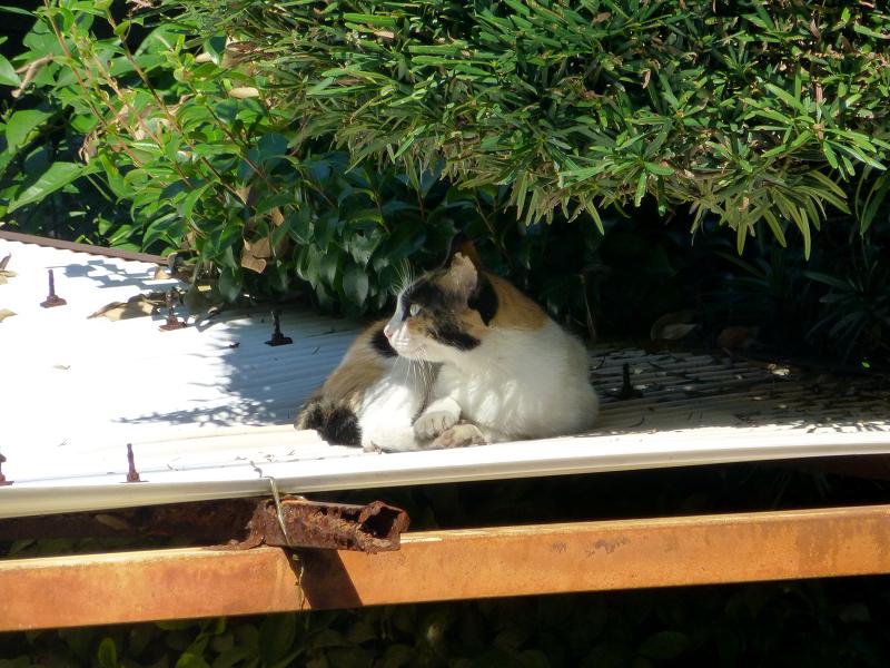波板屋根の三毛猫の視線1