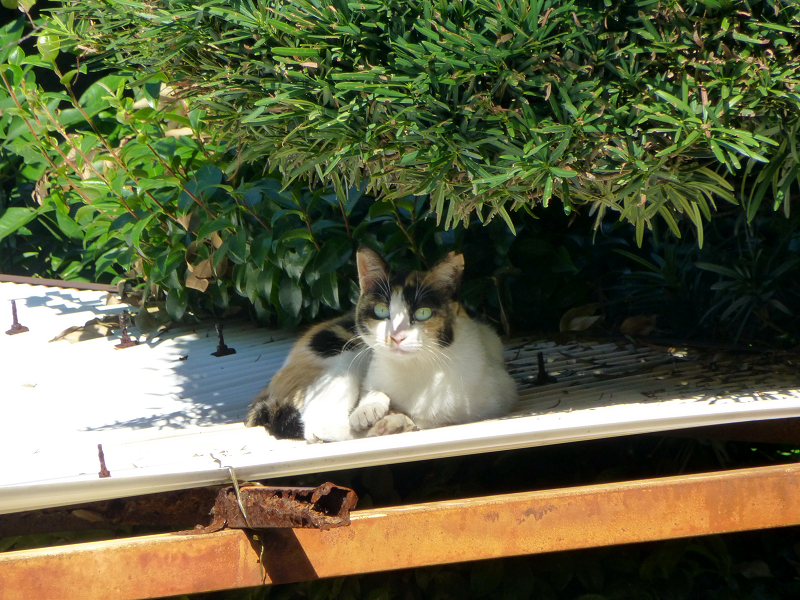 波板屋根の三毛猫の視線2