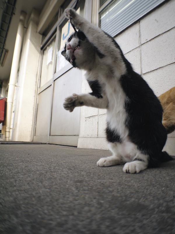 ゴム紐で伸び上がる黒白猫3