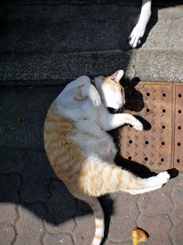 茶白猫の腹を触る4