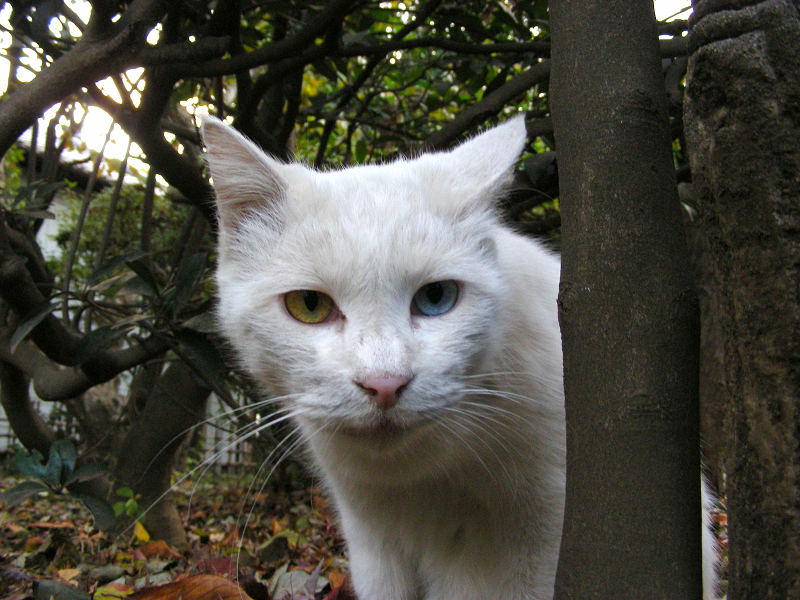 白猫オッドアイ1