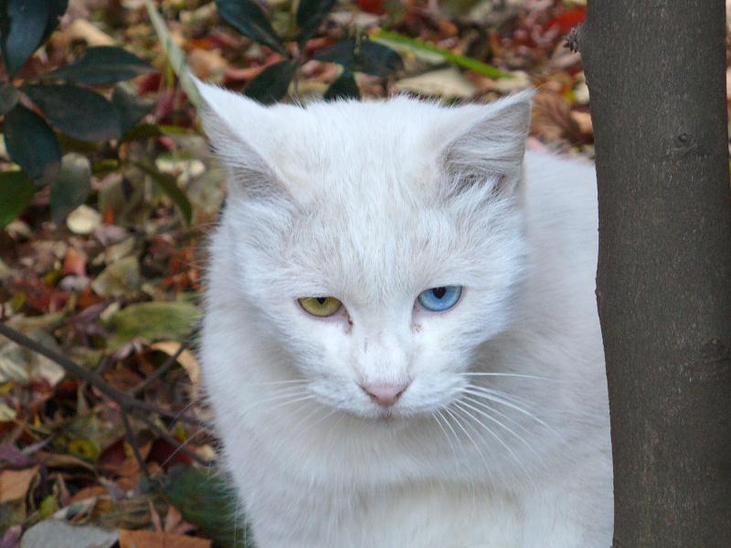 白猫オッドアイ2