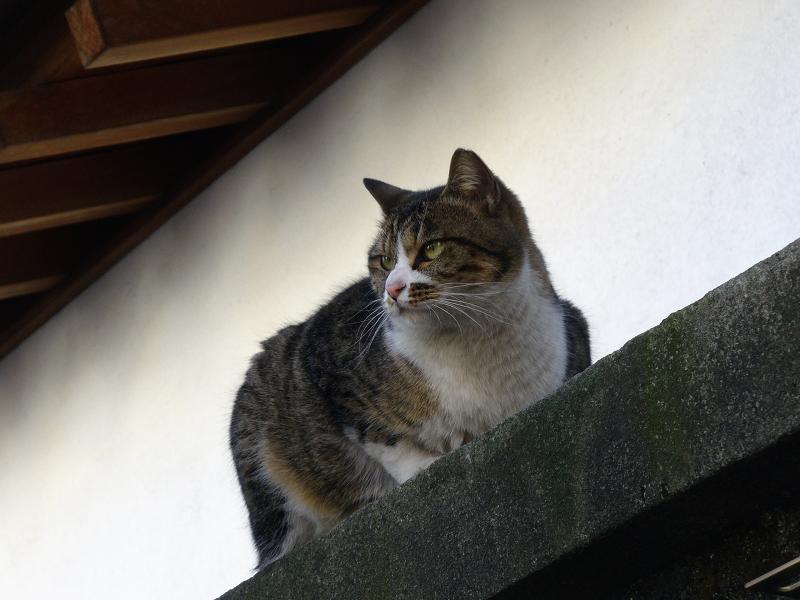 神社ブロック塀のキジ白猫2
