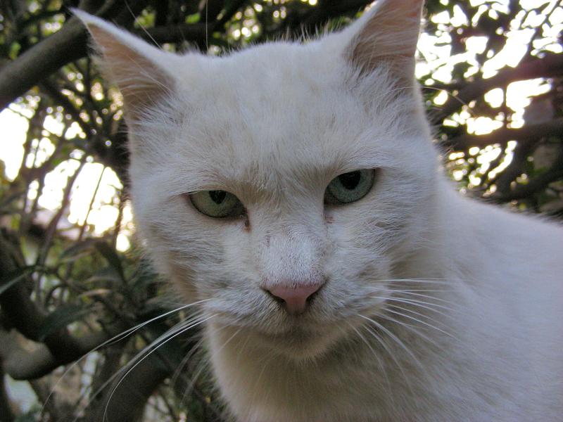 白猫オッドアイ3