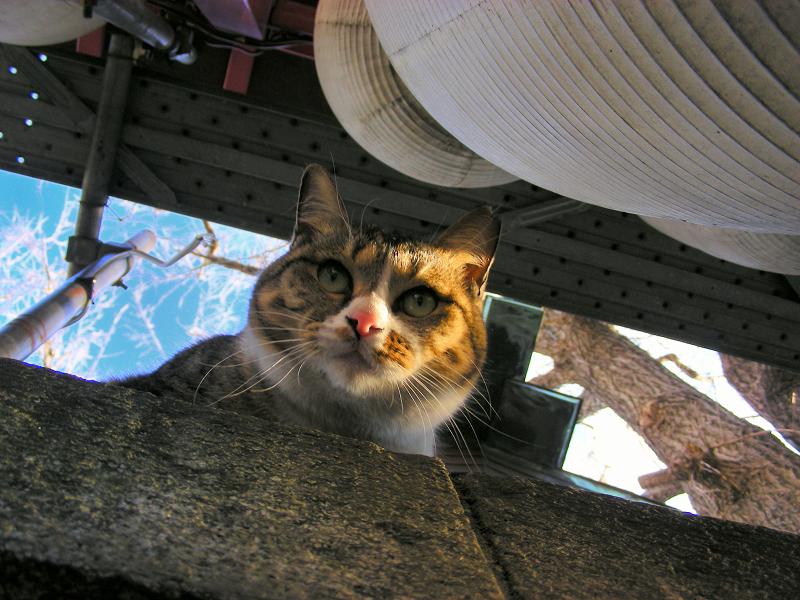 神社ブロック塀のキジ白猫3