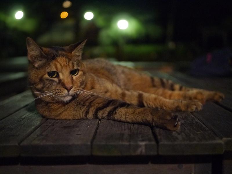 夜の境内ベンチ上のサビ柄猫