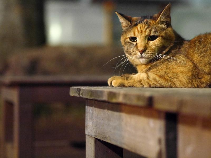 テーブルのサビ猫1