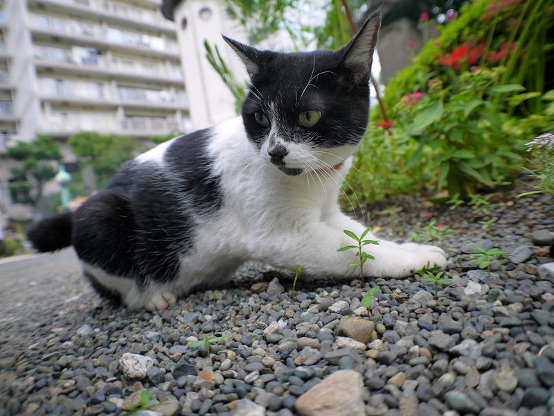 境内玉砂利白黒猫