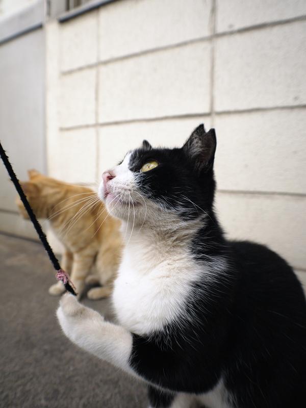 ゴム紐を見つめる黒白猫1