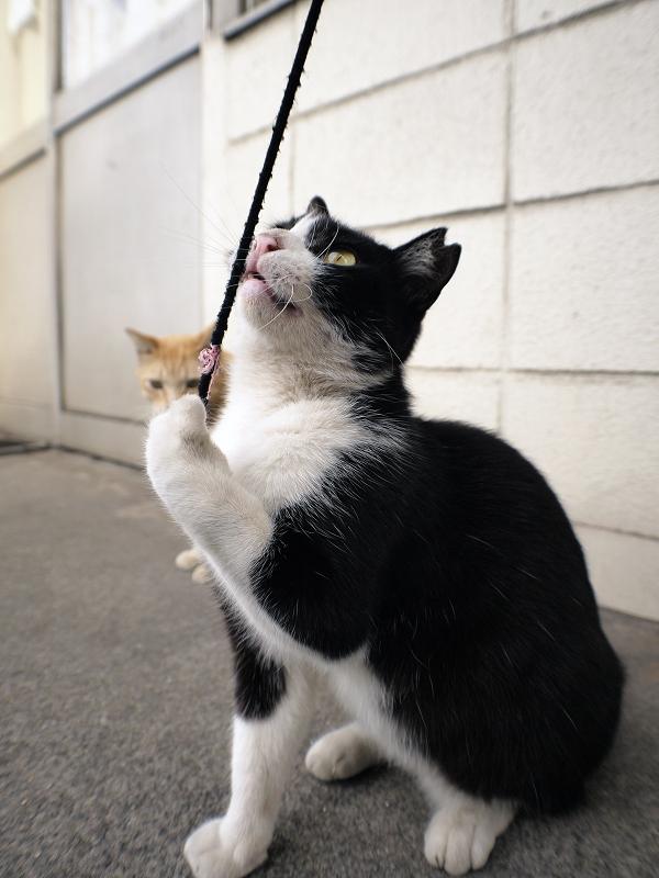 ゴム紐を見つめる黒白猫2
