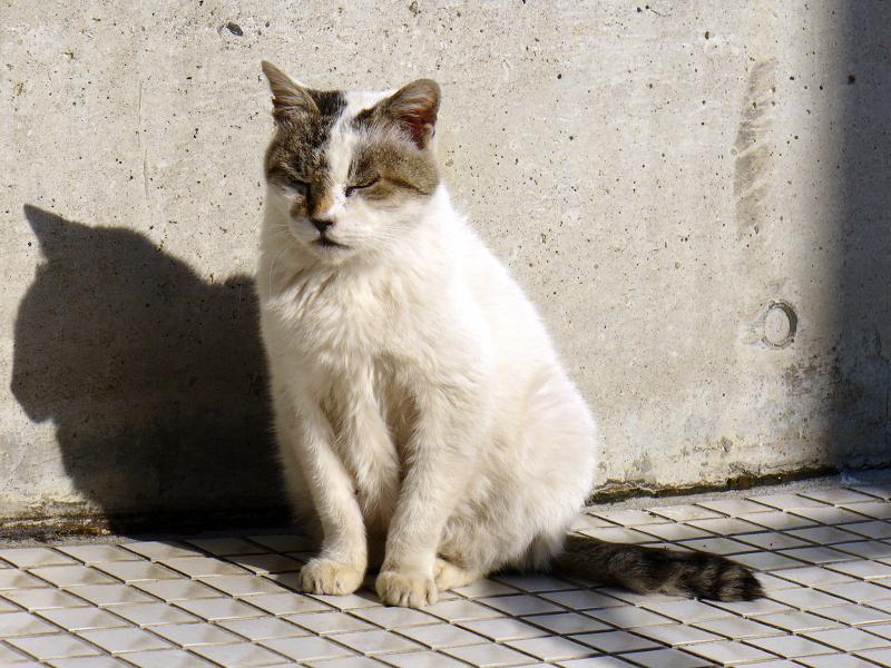 クリーム色の壁と白キジ猫1