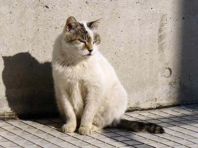 クリーム色の壁と白キジ猫2