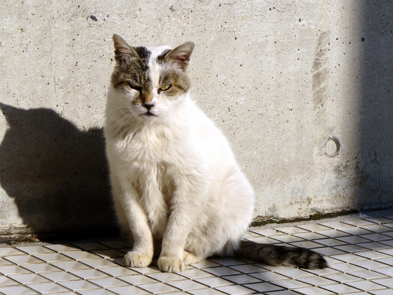 クリーム色の壁と白キジ猫3