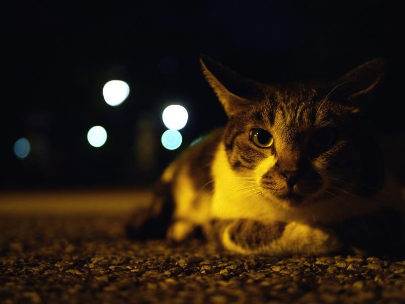 夜の境内キジ白猫1