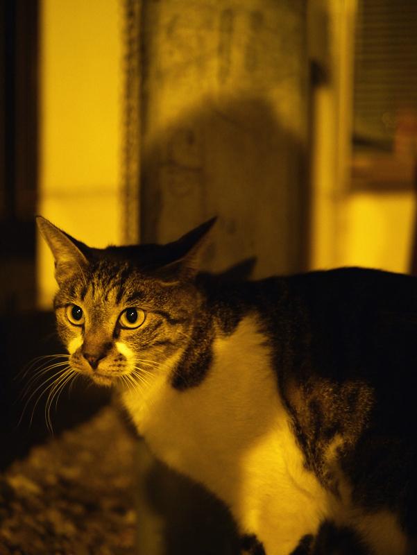 夜の境内キジ白猫3