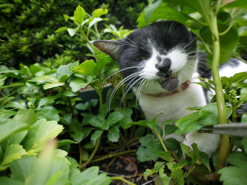 草むらでストラップを引っ張る白黒猫1