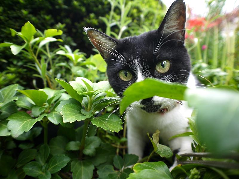草むらでストラップを引っ張る白黒猫2
