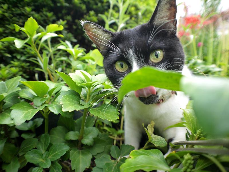 草むらでストラップを引っ張る白黒猫3