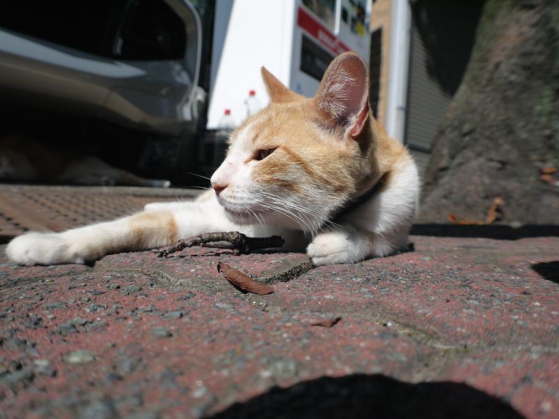 お腹を触った茶白猫のローアングル1