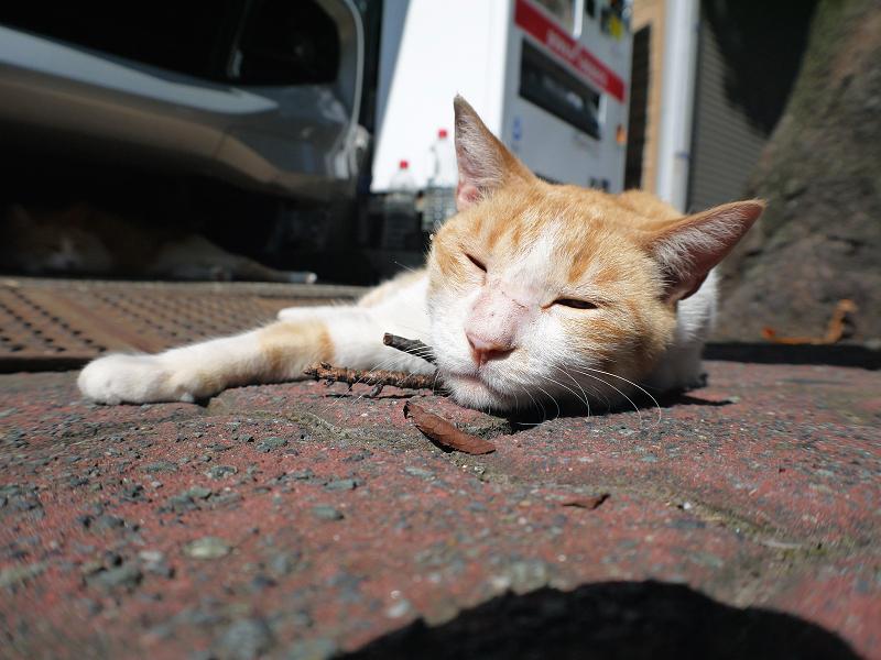 お腹を触った茶白猫のローアングル2