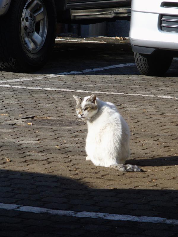 振り返る白キジ猫でぶち1