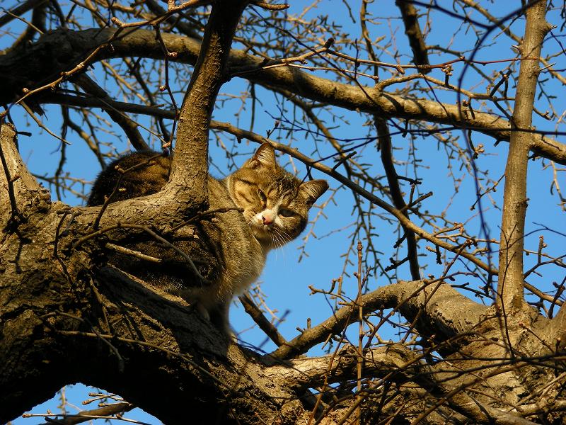 神社神木とキジ白猫2