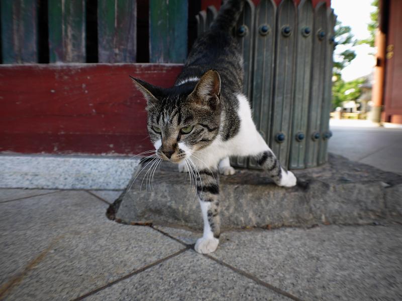 足元のかわいいキジ白猫1