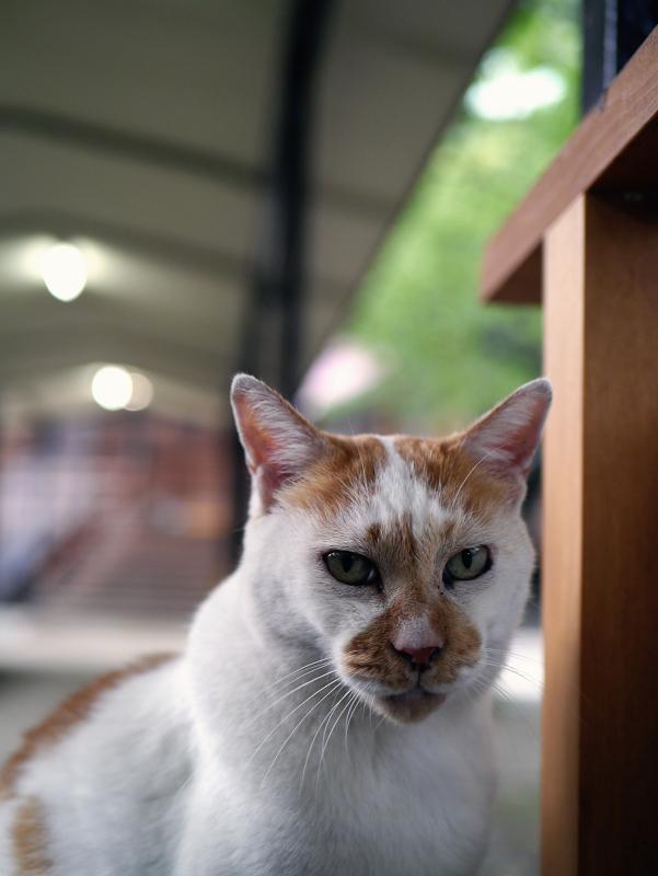 夕暮れ通路と茶白猫1