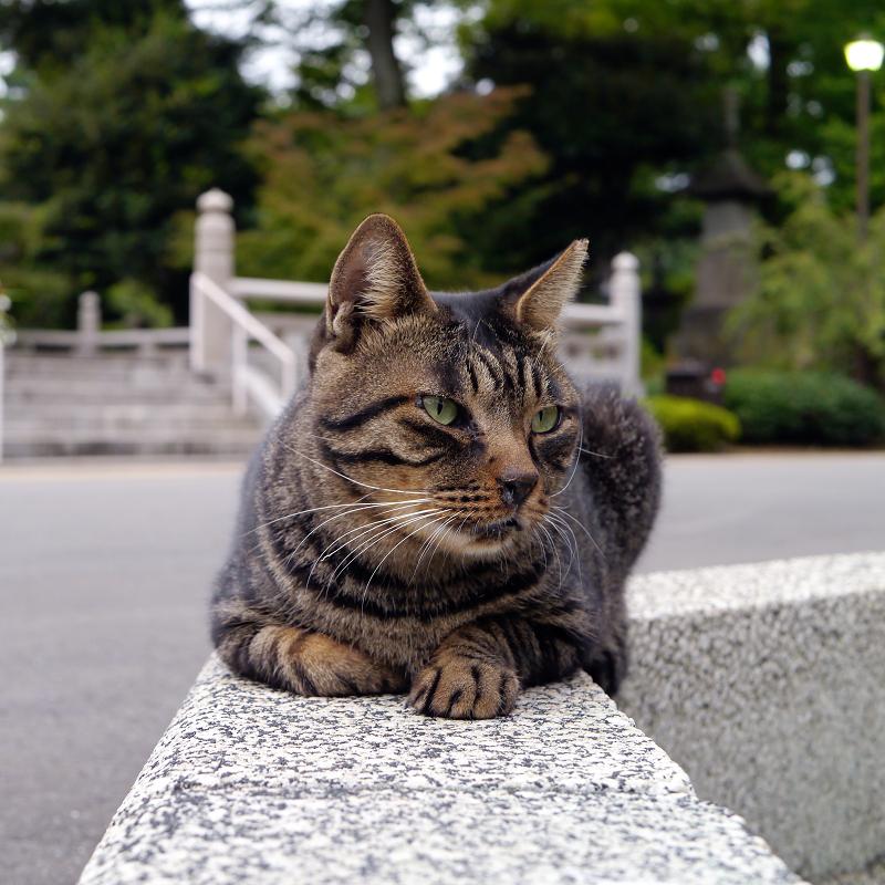 境内縁石の上のキジトラ猫1