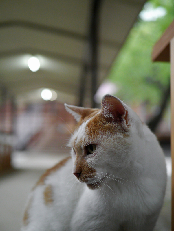 夕暮れ通路と茶白猫2