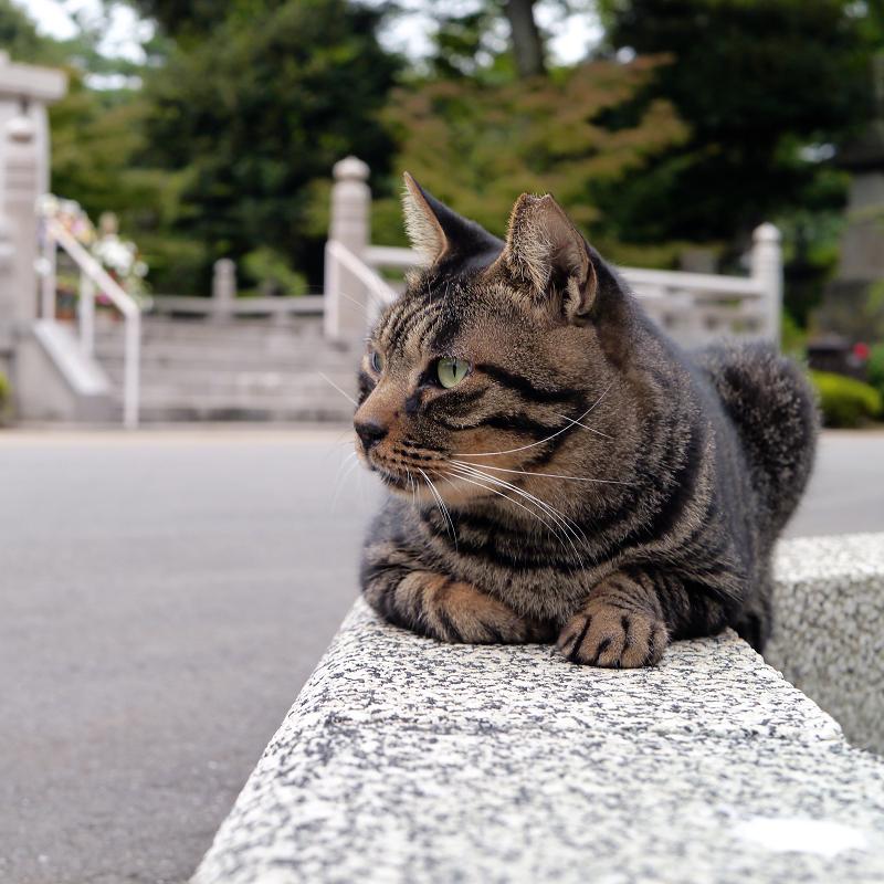 境内縁石の上のキジトラ猫2