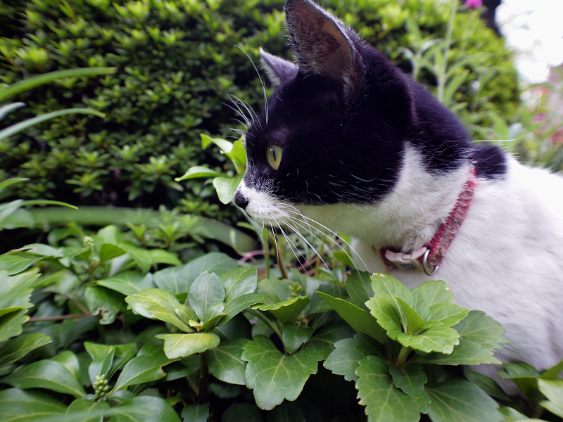 草むらの真剣顔の白黒猫1