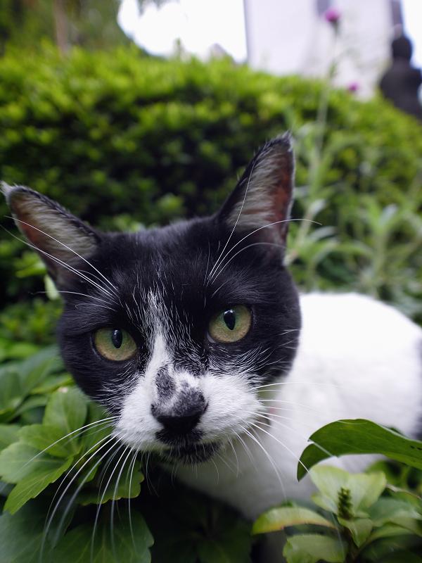 草むらの真剣顔の白黒猫2