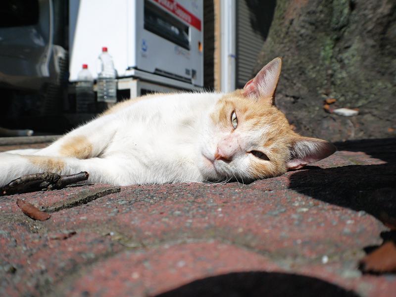 日向ぼっこ茶白猫の腰を触る1