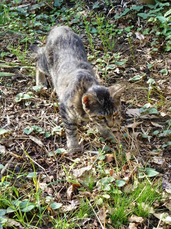 草むらを歩く子猫1