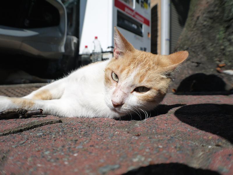 日向ぼっこ茶白猫の腰を触る2